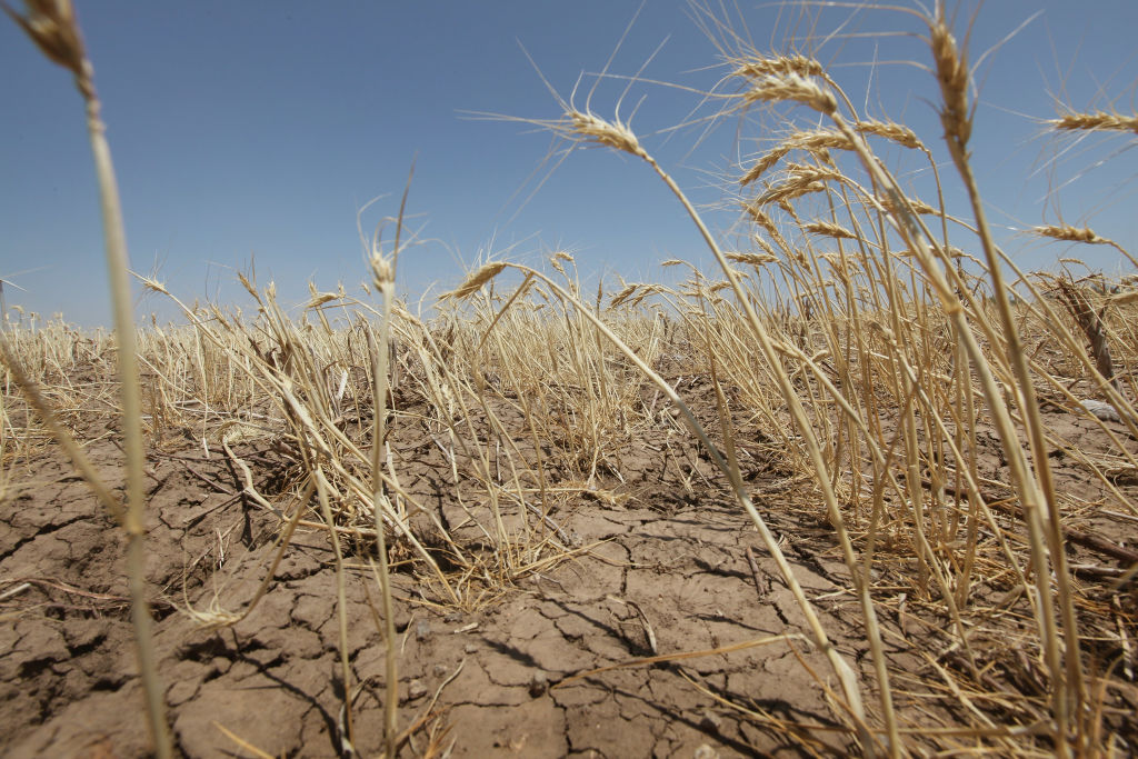 A drought-stricken wheat field bakes in the sun July 27, 2011 near Hermleigh, Texas. A drought over much of Texas could last until spring 2021. Photo courtesy Scott Olson/Getty Images.
