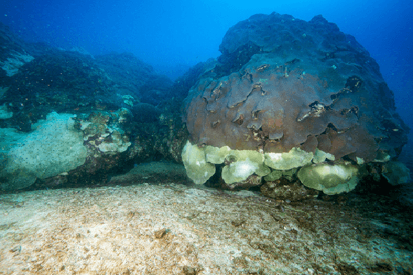 Corals at the East Bank reef in the Flower Garden Banks National Marine Sanctuary show a distinct mortality line, with dead white coral below and living brown coral above. (NOAA Flower Garden Banks National Marine Sanctuary.)