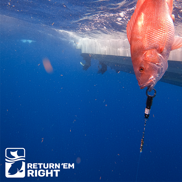 Return 'Em Right Launches – A New Angler-Driven Program Tackling Barotrauma in Gulf of Mexico Reef Fish thumbnail